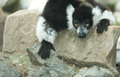 Ruffled lemur cute monkey animal from madagascar black and white varecia variegata Stock Images