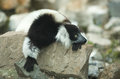 Ruffled lemur on the rocks cute monkey animal from madagascar black and white varecia variegata Stock Photography