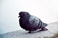 Ruffled pigeon Stock Images