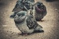 Ruffled pigeon heavily on the pavement close up filter Stock Photos