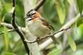 Rufous-collared Sparrow Zonotrichia capensis Stock Photo