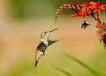 Rufous hummingbird and bumblebee eying on crocosmia flowers feeding Royalty Free Stock Photo