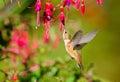 Rufous hummingbird feeding on hardy fuchsia flowers in flight Stock Photo