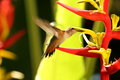 Rufous hummingbird feeding on red and yellow helonica flower Stock Photos