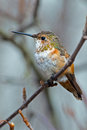 Rufous Hummingbird Female Stock Image