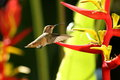 Rufous hummingbird side view of next to red and yellow helicona flowers Stock Photo