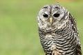 Rufous legged owl the detail of Stock Photos