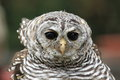 Rufous legged owl the detail of adult Stock Image