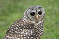Rufous legged owl upper body of adult of Royalty Free Stock Photography