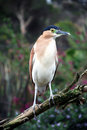 Rufous Night Heron Stock Photo