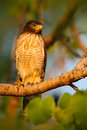 Rufous thighed kite harpagus diodon birds of prey in the nature habitat with evening sun sitting on the tree branch pantanal Royalty Free Stock Photography