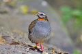 Rufous-throated Partridge Royalty Free Stock Photo