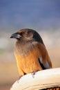 Rufous treepie pushkar rajasthan india dendrocitta vagabunda Stock Photography