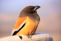 Rufous treepie pushkar rajasthan india dendrocitta vagabunda Royalty Free Stock Images