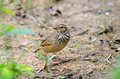 Rufous-winged bushlark Stockfotos