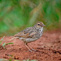 Rufous winged bushlark beautiful bird mirafra assamica standing on the ground Stock Photography