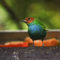 Rufous winged tanager colorful in costa rica Royalty Free Stock Image