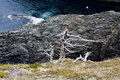 Rugged sea coast with seagull scene water rocks stark tree meadow and in newfoundland Stock Photo