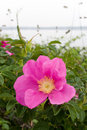 Rugosa Rose Stock Images