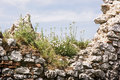 Ruined plavecky castle slovakia close up of wall with flowers slovak republic Stock Photography