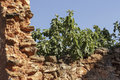 Ruined stonewall with fig branches sticking out behind Royalty Free Stock Photo