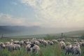 Rular landscape and eating sheeps group of Stock Photo