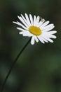 Rumianek, ox-eye stokrotki biały kwiat Zdjęcia Royalty Free