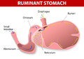 Ruminant stomach the species have one that is divided into four compartments rumen reticulum omasum and abomasum Royalty Free Stock Image