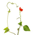Runner bean plant flowers foliage and tendril isolated against white Royalty Free Stock Photos