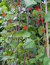 Runner bean row plants in growing up garden canes Stock Image