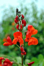 Runner beans flowers latin name phaseolus coccineus enorma Royalty Free Stock Photo