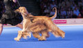 Running afghan hound july th paris france handler showing in the show ring at the world dog show Stock Photography