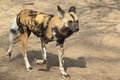 Running african wild dog Stock Photos