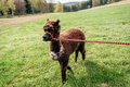Running alpaca with rein fluffy brown on the Stock Photography