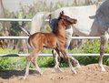 Running arabian little foal with mom Royalty Free Stock Photo