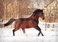 Running bay horse in snow paddock Stock Image