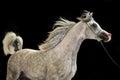 Running  beautiful grey arabian stallion at black background. Royalty Free Stock Photo