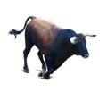 Running black bull Royalty Free Stock Photo
