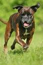 Laufen Hund