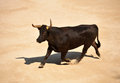 Running bull furious in the bullfight arena Royalty Free Stock Images
