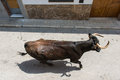 Running bull top view of a along the town street on sunny day in spain Royalty Free Stock Images