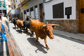 Running bulls along the streets of villamarxant city celebrating a spanich fest on Stock Photo