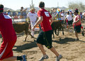 Running of the Bulls in America in Arizona Stock Photo