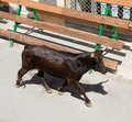 Running of the bulls at street fest in Spain Royalty Free Stock Photo