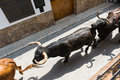 Running bulls top view of a along the town street on sunny day in spain Royalty Free Stock Image