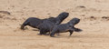 Running cape fur seals arctocephalus pusillus cross namibia Stock Photography