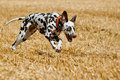 Running dalmatian Royalty Free Stock Photography
