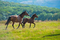 Running dark bay horses in a meadow with green grass Stock Photography