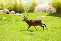 Running deer one ibex on the alpine mountain meadow in chamonix Royalty Free Stock Photography