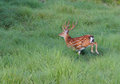 The running deer a strong males in thick bushes its antlers guide it go forward Stock Images